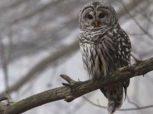 barred_owl_granthickey1