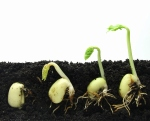 Germinating beans