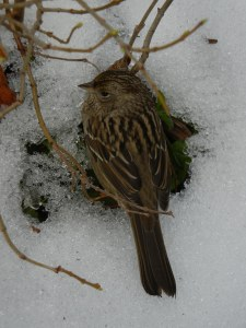 sparrow-in-the-snow