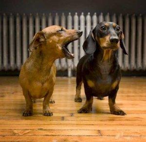 nagging-dachshund