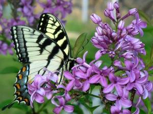 Swallowtail-Butterfly-on-Lilac-Blossom